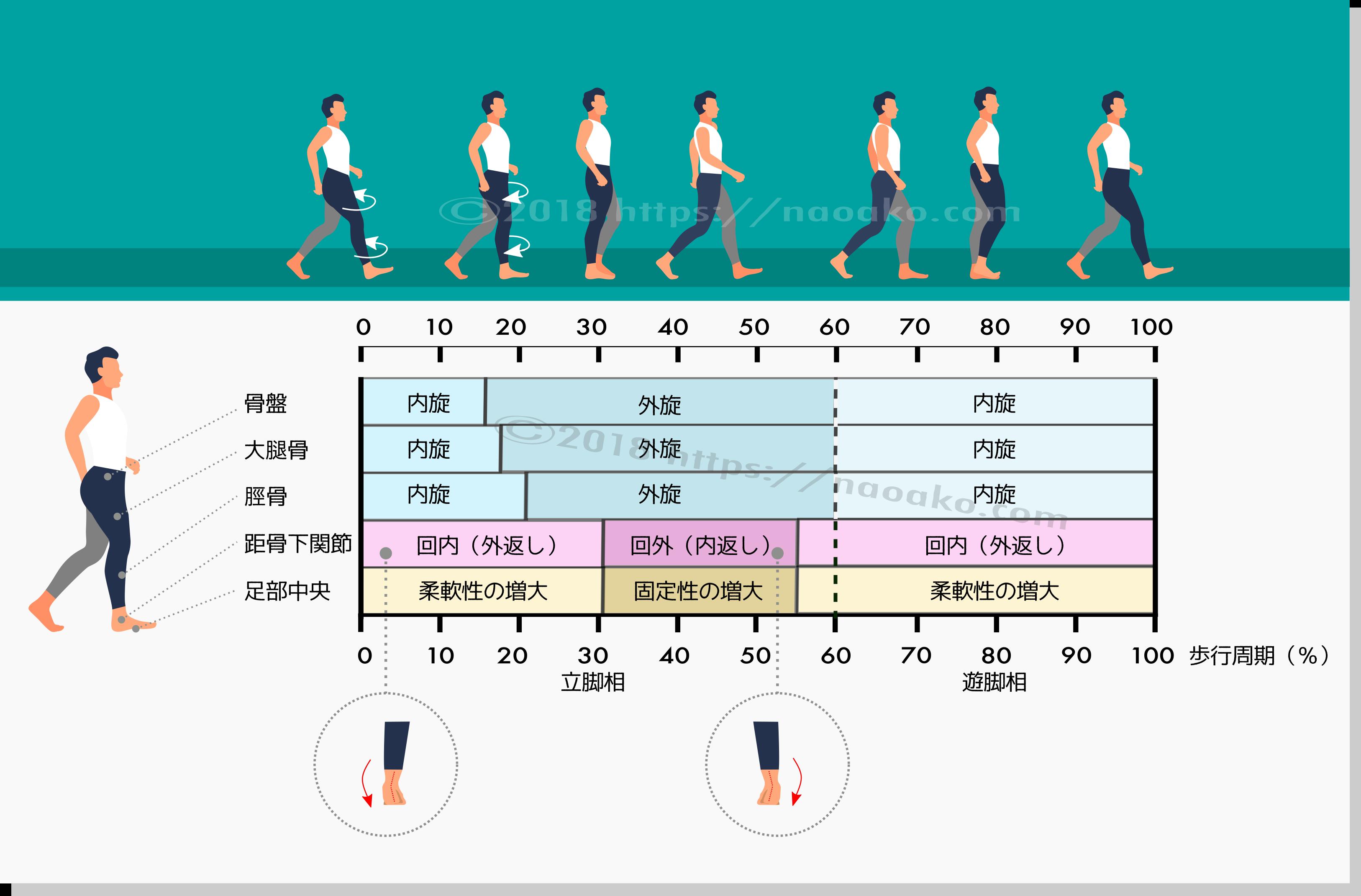 歩行位相と足の硬軟の対応を示すイラスト
