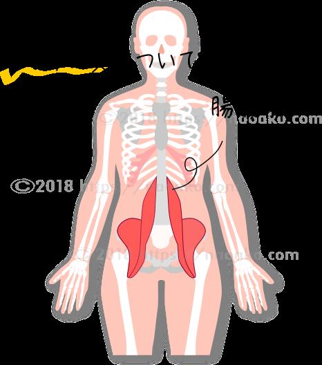腸腰筋だけを示す図